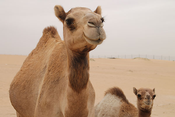 2-camels-in-the-desert.jpg