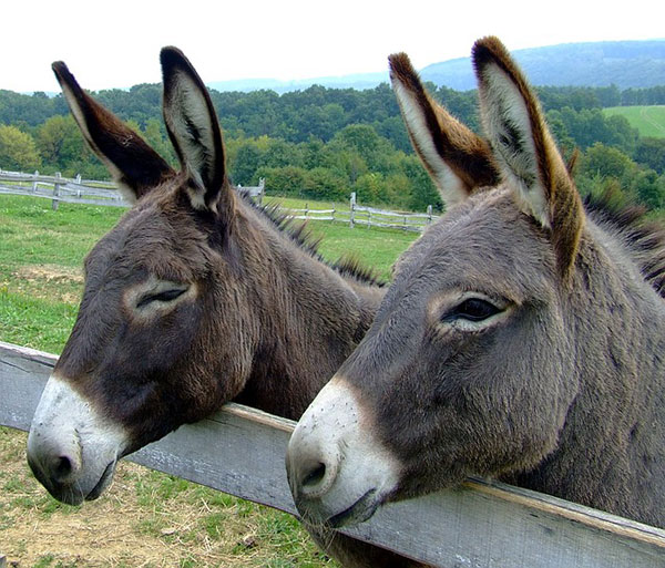 2-donkeys-near-a-fence.jpg
