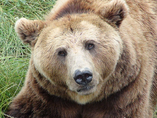 brown-bear.jpg